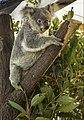 Cairns Koala-1 (22955485423).jpg