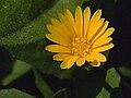 Calendula arvensis FlowerCloseup SierraMadrona.jpg