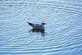 California gull (30830456064).jpg