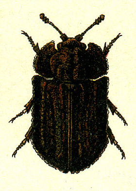 Calitys scabra