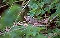 Calotes versicolor, Sri Lanka 02 (js).jpg