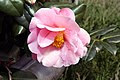 Camellia japonica Pink Icicle 9zz.jpg
