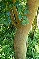 Camellia oleifera kz1.jpg