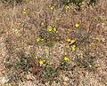 Camissonia brevipes 4.jpg