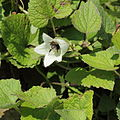 Campanula alliariifolia-IMG 7140.jpg