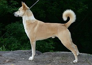 Canaan Dog - Image: Canaan Dog Chakede