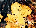 Candelaria concolor-4.jpg
