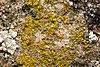 Candelariella.coralliza2.-.lindsey.jpg