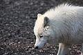 Canis lupus arctos IMG 9110.jpg