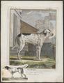 Canis lupus familiaris - 1700-1880 - Print - Iconographia Zoologica - Special Collections University of Amsterdam - UBA01 IZ22300011.tif