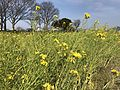 Canola field on north side of Fukuoka Airport 3.jpg