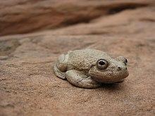 Canyon Treefrog (5205515626).jpg