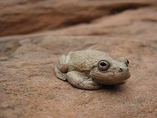 Canyon tree frog species of amphibian