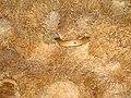 Cape cobra.jpg