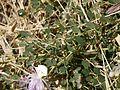 Capparis spinosa (6720210015).jpg