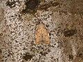 Carcina quercana (42484777364).jpg