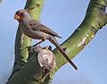 Cardinalis sinuatus -Tuscon, Arizona, USA -male-8.jpg