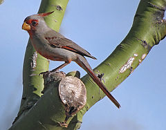 Cardinalis sinuatus -Tuscon, Arizona, USA -male-8.jpg