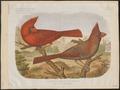 Cardinalis virginianus - 1881-1889 - Print - Iconographia Zoologica - Special Collections University of Amsterdam - UBA01 IZ16000135.tif