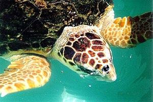 Threatened fauna of Australia - Loggerhead turtle