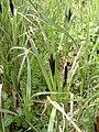 Carex acuta plant (1).jpg