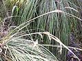 Carex divulsa subsp. leersii HojaseInflores 2011-10-16 SierraMadrona.jpg