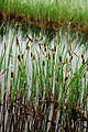 Carex limosa plant (02).jpg