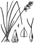 Carex retroflexa BB-1913.png