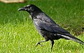 Carrion Crow (Corvus corone) (25932479036).jpg