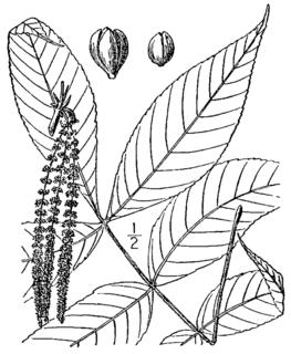 <i>Carya pallida</i> Species of flowering plant