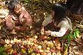 Cashew Nuts ernten mit Family Thong in Ratanakiri 14.JPG