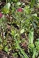 Castilleja parviflora 0740.JPG