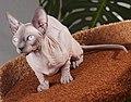 Cat Sphynx. img 002.jpg