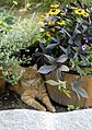 Cat in flowers (290913173).jpg
