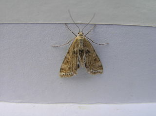 <i>Cataclysta lemnata</i> species of insect