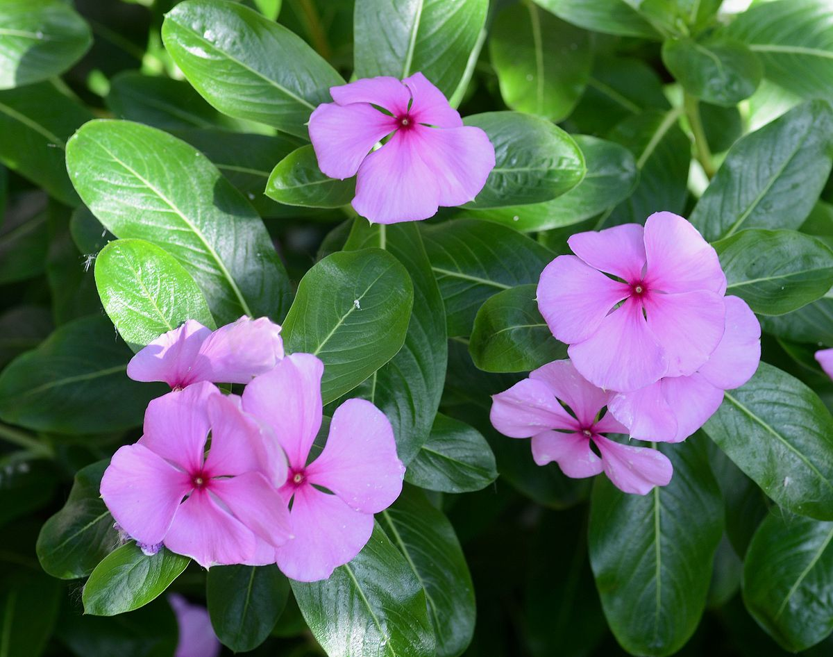 rosy periwinkle wiktionary
