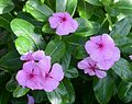 Catharanthus July 2013-1.jpg