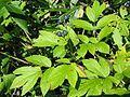 Caulophyllum robustum 8.JPG