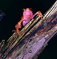 Cayenne Stubfoot Toad (Atelopus flavescens) (10745496434).jpg