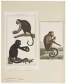 Cebus spec. - 1700-1880 - Print - Iconographia Zoologica - Special Collections University of Amsterdam - UBA01 IZ20200027.tif