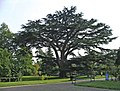 Cedar of Lebanon, Forty Hall, Enfield - geograph.org.uk - 708717.jpg