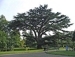 Cedar of Lebanon, Forty Hall, Enfield - geograph.org.uk - 708717.jpg