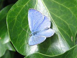 Mannelijk boomblauwtje