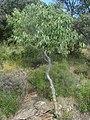 Celtis australis.002 - Monfrague.jpg