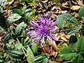 Centaurea salicifolia-1.JPG