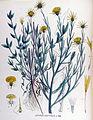 Centaurea solstitialis — Flora Batava — Volume v17.jpg
