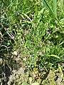 Centaurium pulchellum sl17.jpg