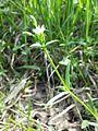 Cerastium dubium sl15.jpg