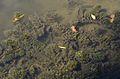 Ceratophyllum demersum (8443788275).jpg