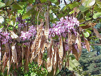 Cercis siliquastrum - Flowers and pods